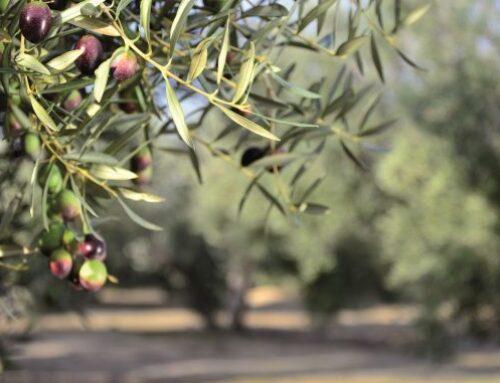 Empezamos la campaña de la aceituna: consejos de recolección de la aceituna y el cuidado del olivar
